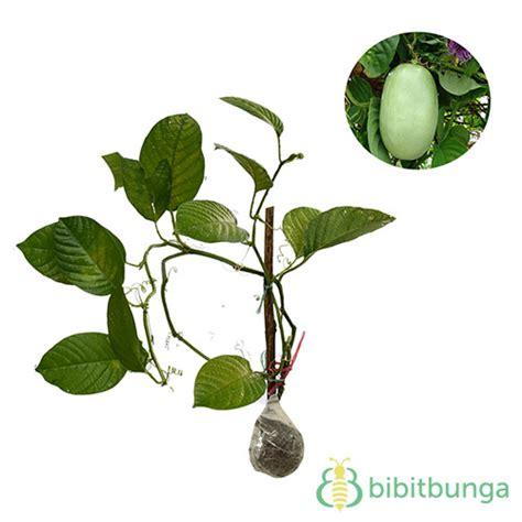 Bibit Tanaman Markisa tanaman markisa besar granadilla bibitbunga