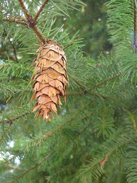 cone tree cone trees