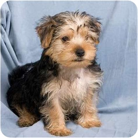 maltese yorkie mix puppies adoption echo adopted puppy il yorkie terrier maltese mix