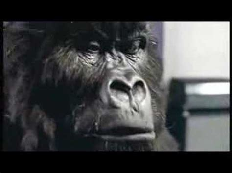 Wonderbra Recreates Cadbury Gorilla Advert For by Cadbury S Gorilla Advert Aug 31st 2007