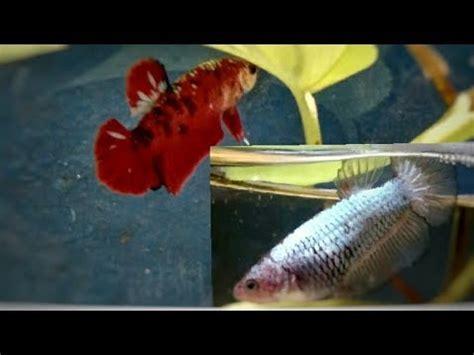 Pakan Ikan Cupang Umur 1 Hari cara mengawinkan ikan cupang doovi