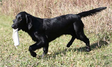 Flat Coated Retriever Shedding by Flat Coated Retriever Breed Information Puppies