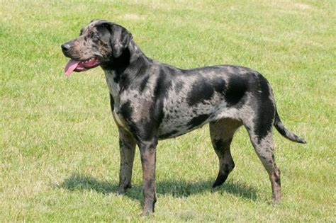 Catahoula Shedding by Top 10 Breeds You Ve Probably Never Heard Of