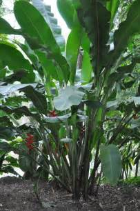 179 best images about tropical plants full sun on pinterest angel trumpet sun and shrubs