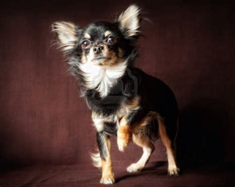 haired chihuahua puppy dogs haired chihuahua dogs