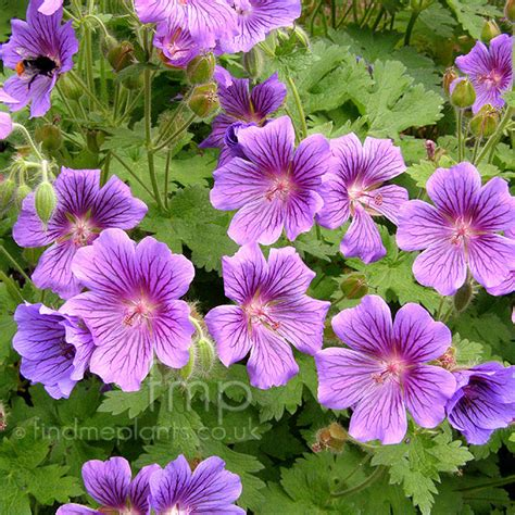 a big photo of geranium x magnificum from findmeplants