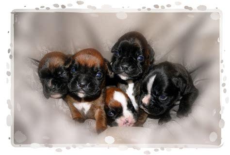 boxer puppies pictures pictures boxer puppies www imgkid the image kid has it