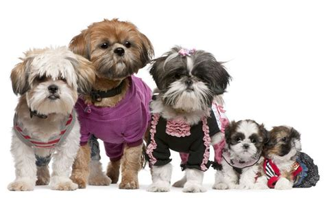 shih tzu names meanings shih tzu names ideas for this