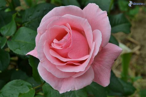 imagenes rosas de colores rosas de color rosa