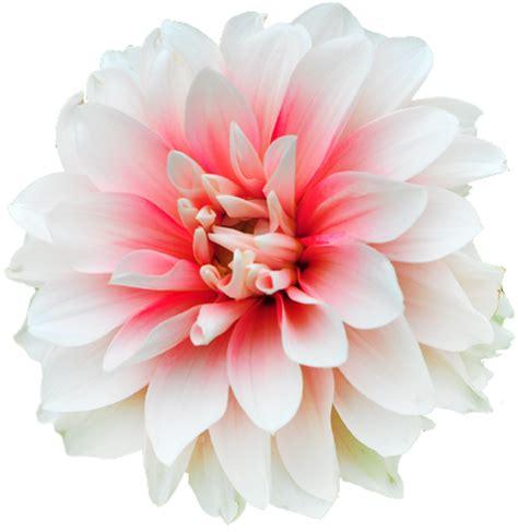 photos of colombia flowers dahlia transparent flowers dahlia is a genus of bushy tuberous