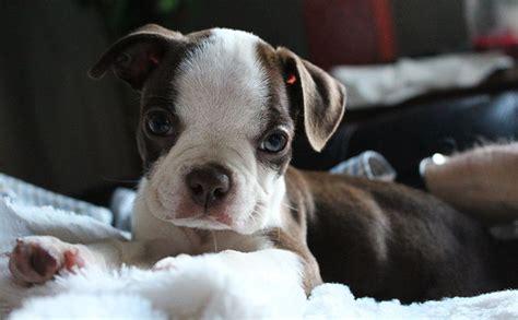 raza perros peque os pelo corto razas de perros peque 209 os de pelo corto con imagenes