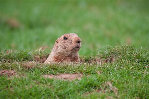 groundhog day killer groundhog how to get rid of groundhogs domyown
