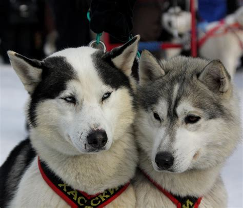 husky puppy names husky names 101 great name ideas for your siberian husky