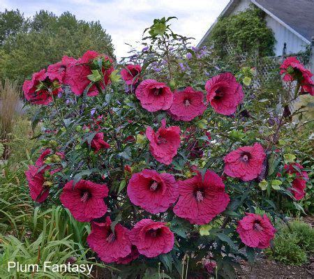 cottage farms hibiscus 17 best images about hibiscus flower 176 176 176 176 176 176 176 176 176 176 on be patient recital and