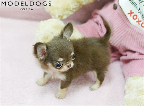 haired chihuahua puppy haired chihuahua puppy adorable animals