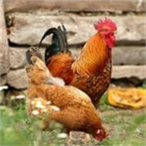 welk keukenafval voor kippen voeding voor kippen wat mogen kippen wel en niet eten