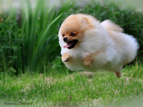 what do pomeranians like do you like pomeranians