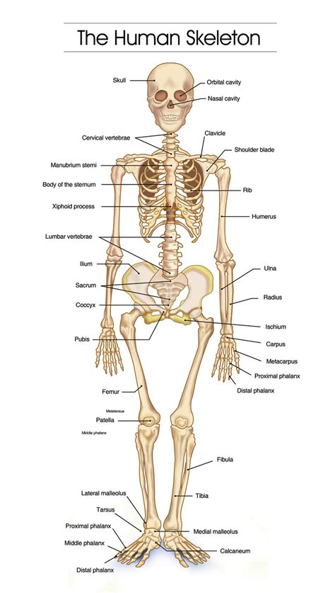 human skeletal system diagram well labeled structure of human skeleton anatomy system