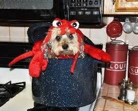 can dogs eat lobster morkie