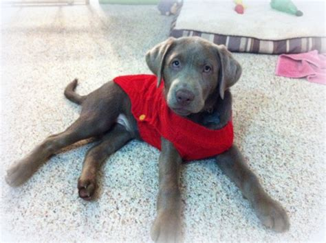 silver lab puppies for sale in il silver lab puppies for sale silver labs charcoal lab puppies