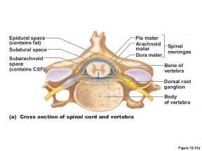 spinal cord and spinal nerves lab