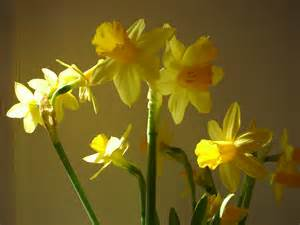 The Flower Daffodil - 301 moved permanently