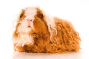 10 unusual charming breeds of guinea pigs pets4homes