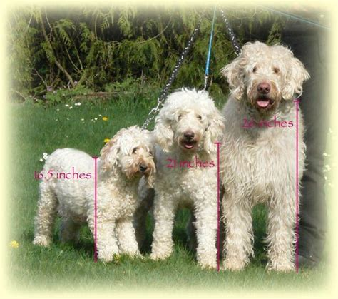 mini doodle breeders bc labradoodles my favorite doodle and