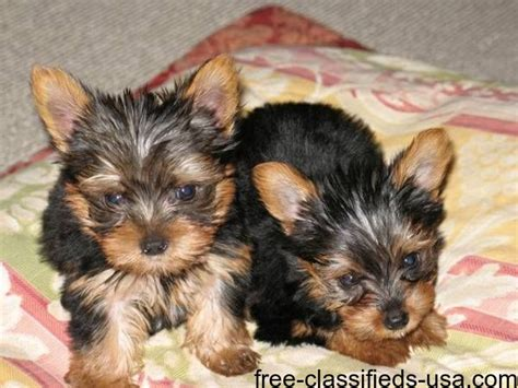 teacup yorkie puppies for sale in iowa beautiful teacup yorkie puppies animals alburnett iowa announcement 52845