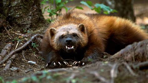 wild animals of the wolverine wolverine animal animal facts and wild animals