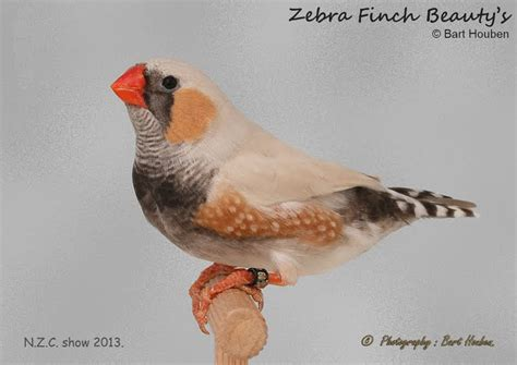 nzc show 2013 zebra finch beauty s