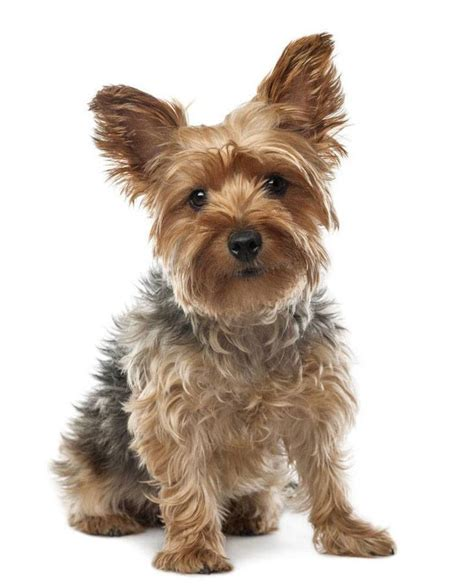 names for yorkie yorkie names for your