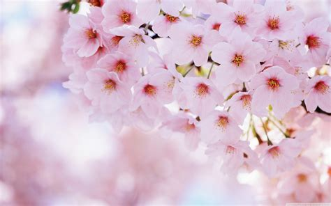 For You In Blossom 4 cherry blossom wallpaper 2880x1800 42440