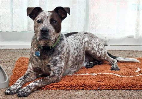 Cow Mix american staffordshire terrier australian cattle mix australian cattle dogs mixes
