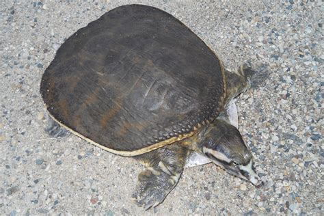cycle shell florida softshell turtle facts habitat diet life cycle