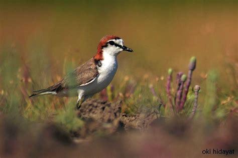 Mahkota Mahkota Topi Merah Ho3217 foto cantiknya burung migran mongabay co id