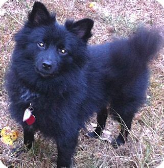 schipperke pomeranian mix skipper adopted manchester ct schipperke pomeranian mix