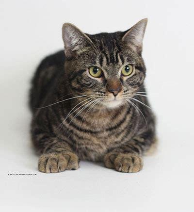 Top 10 Cat Breeds In America   Catsbook