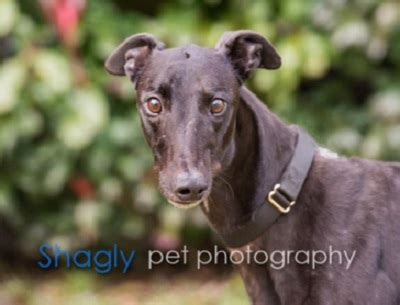 my is always scratching but doesn t fleas greyhound adoption league of inc