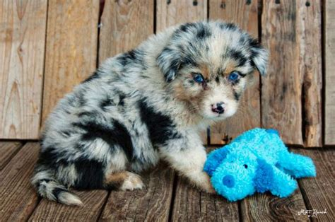 blue merle australian shepherd puppies 71 most australian shepherd puppies pictures and photos