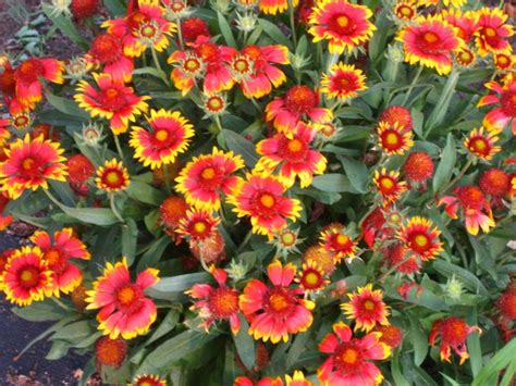 perennial flowers that bloom all summer bayscape for barnegat bay flowers vegetable beds