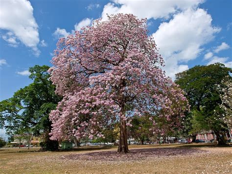 Tabebuia Rosea tabebuia rosea pink poui it s all about plants