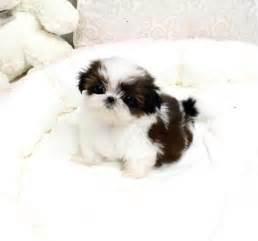 teacup shih tzu puppies for sale in pa 25 b 228 sta shih tzu puppy id 233 erna p 229 shih tzu s 246 ta hundar och s 246 ta valpar