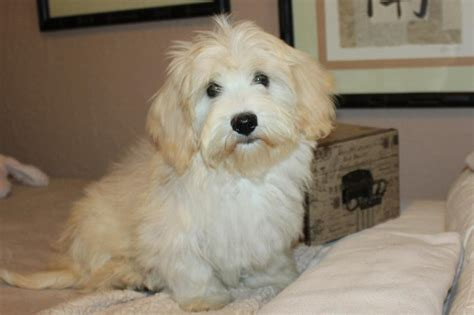 havanese adults for adoption our nursery of coton de tulear havanese puppies available by cornerstone