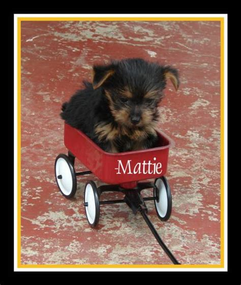 teacup yorkies for sale in tulsa dr yorkies ridenhour yorkie puppies akc yorkies yorkie puppies for sale