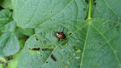 Gardens Pest by Garden To Garden Identify A Pest