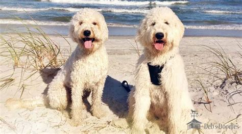 vẠdoodle goldendoodle puppies and sheepadoodle puppies in virginia