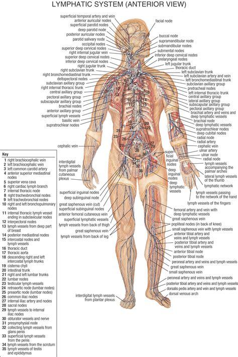 lymph node locations lymph nodes diagram locations anatomy human