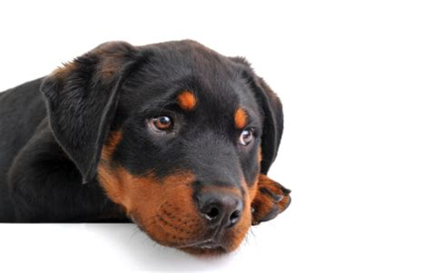 how to train a rottweiler puppy | thedogtrainingsecret.com