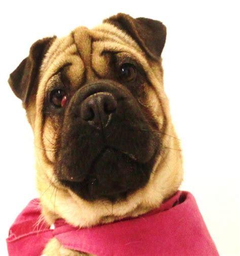 shar pei cross pug cherry 1 2 year pug cross shar pei for adoption